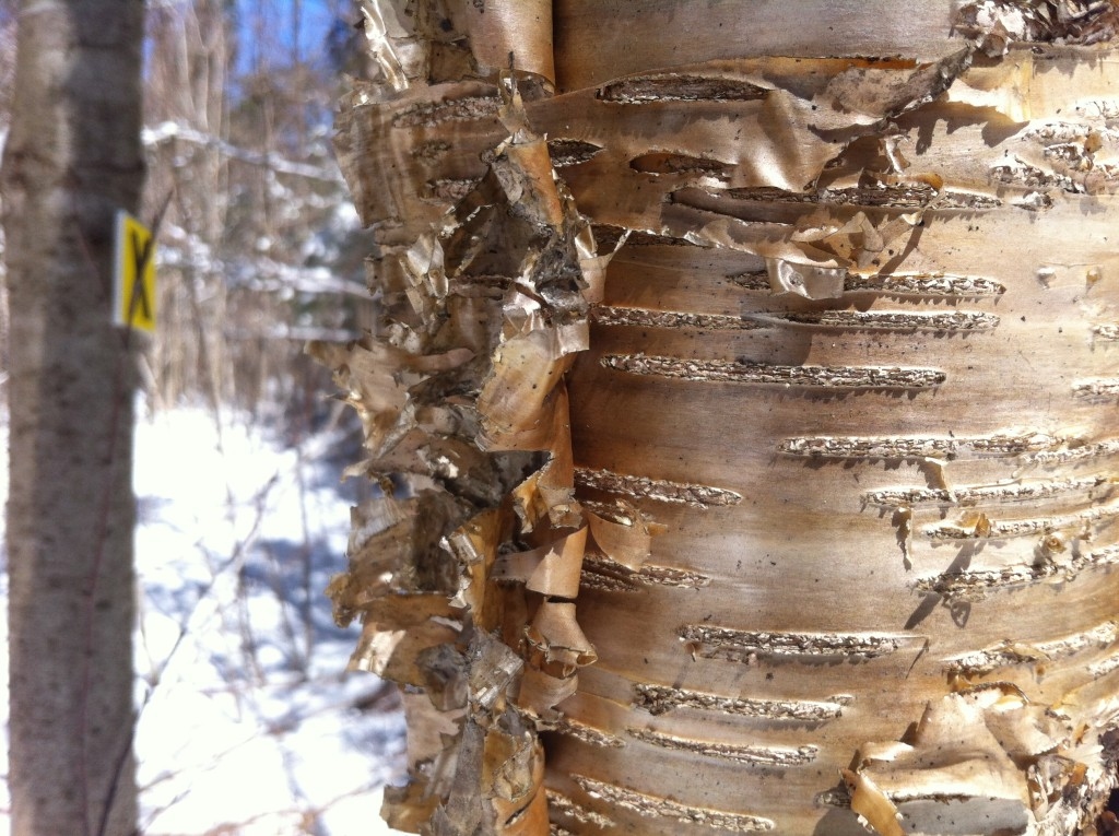Yellow Birch tree